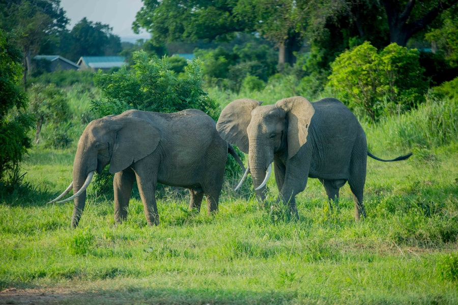 olifanten langs de kant van de weg in het gras.