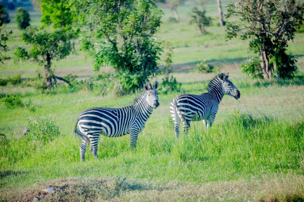 Zebra's en prachtig landschap in Tanzania
